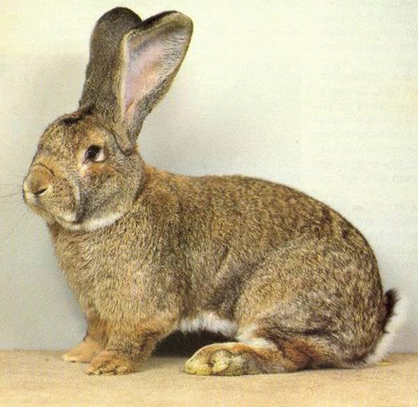 Кролики породы фландр: особенности разведения и ухода — cельхозпортал