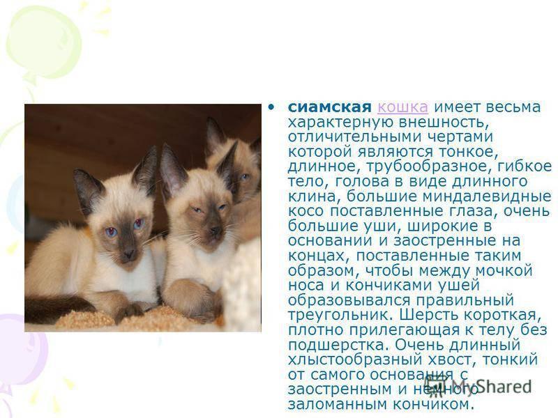 Особенности содержания и описание кошек сиамской породы, основы ухода за ними