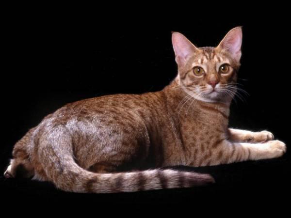 Оцикет кошка, описание породы, уход