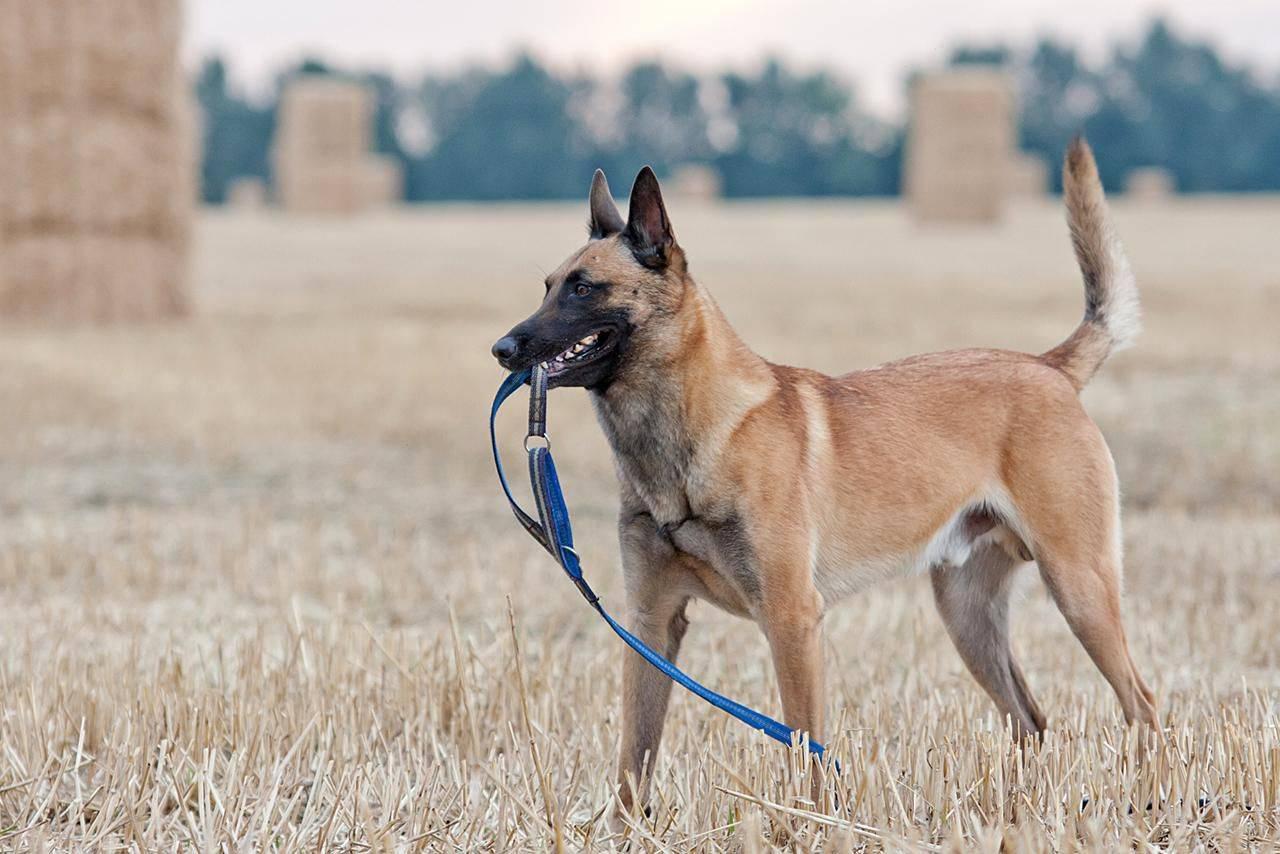 Бельгийская овчарка: описание породы