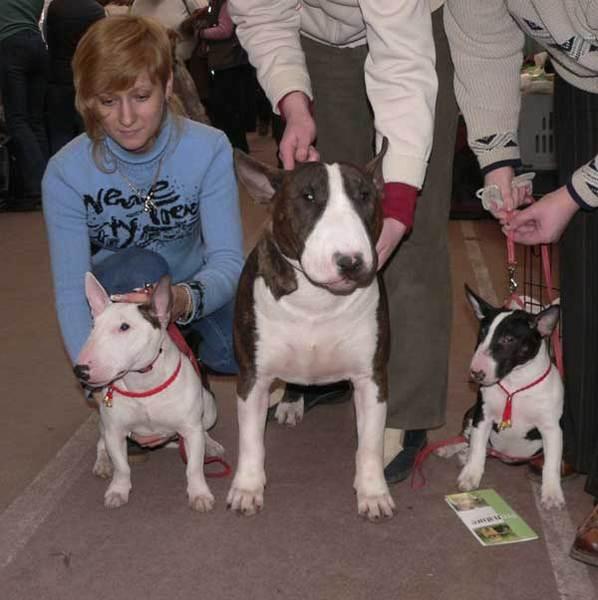 Миниатюрный бультерьер — описание породы и характер собаки