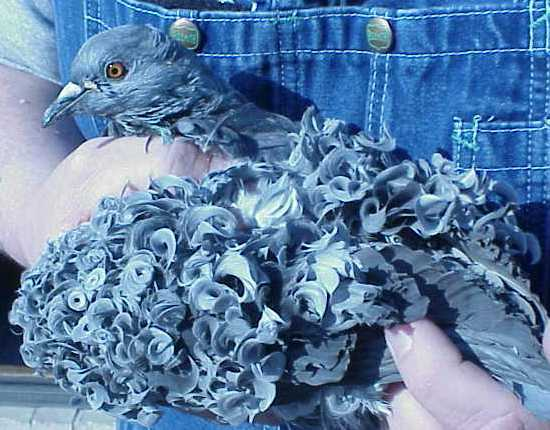 Лучшие породы высоколетных голубей