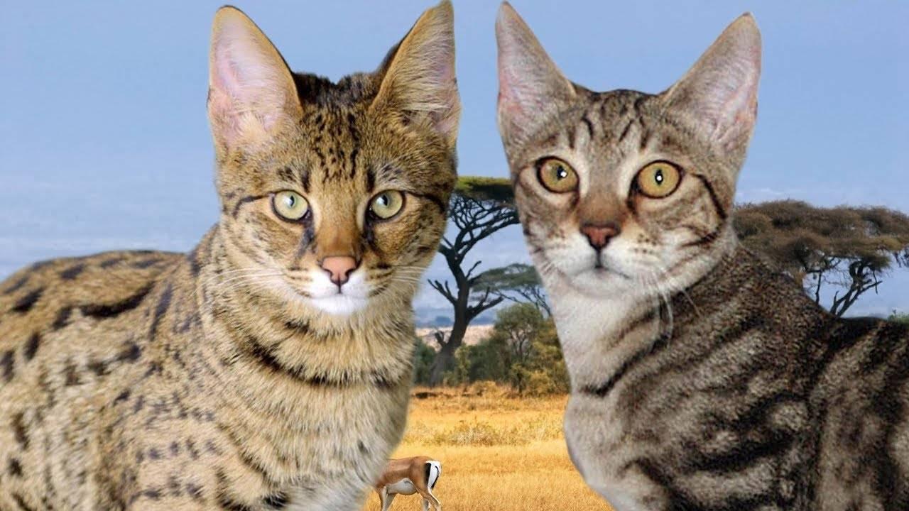 Порода кошек серенгети: содержание и уход в домашних условиях