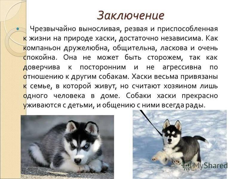 Смесь хаски и овчарки (26 фото): помеси с немецкой и кавказской овчарками, уход за щенками метиса