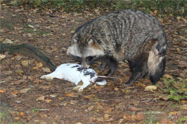 Чем отличается енот-полоскун от обычного енота: разница между животными