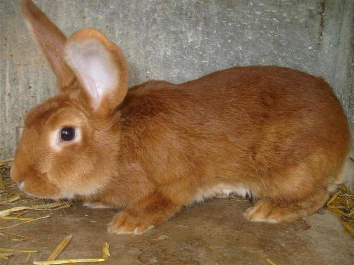 Бургундская порода кроликов – описание, содержание и уход