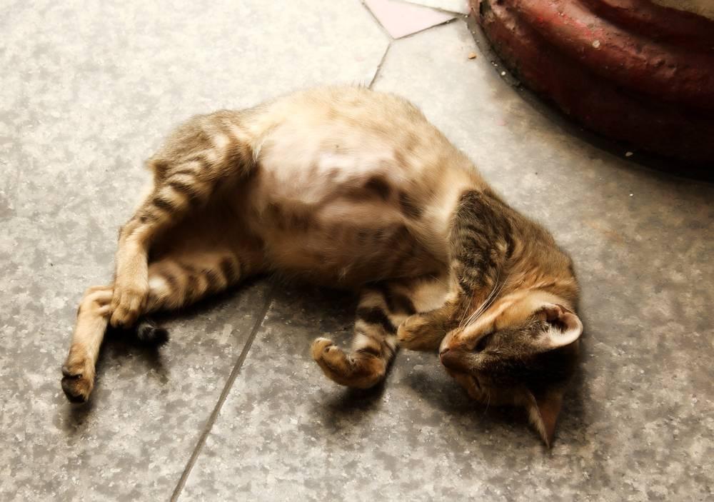 Продолжительность беременности у кошек