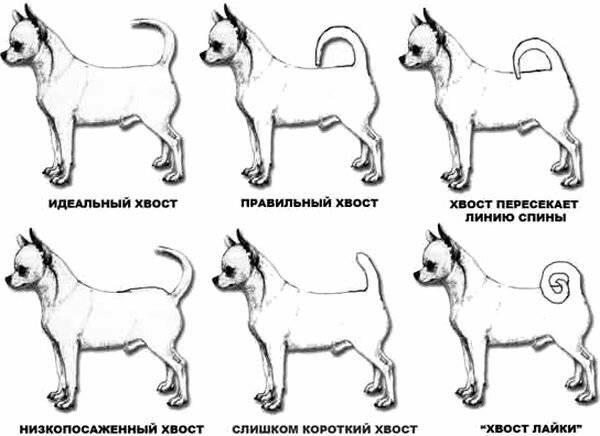 Собака чихуахуа: описание породы, видео ифото, характер, уход исодержание