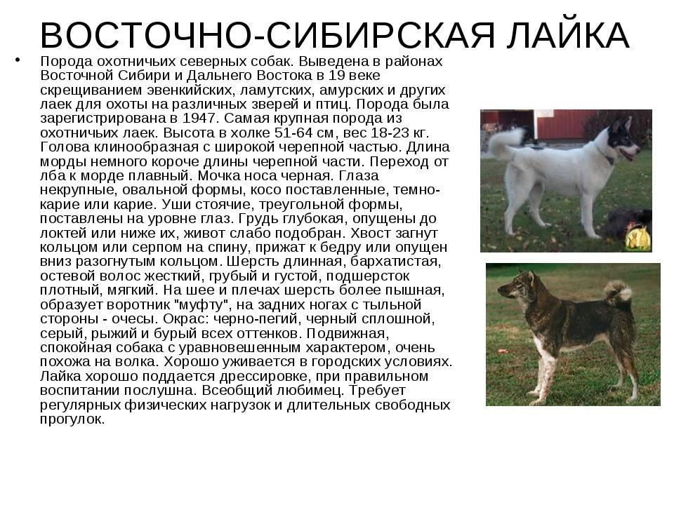 ᐉ лайка восточно сибирская и западно сибирская - zooshop-76.ru