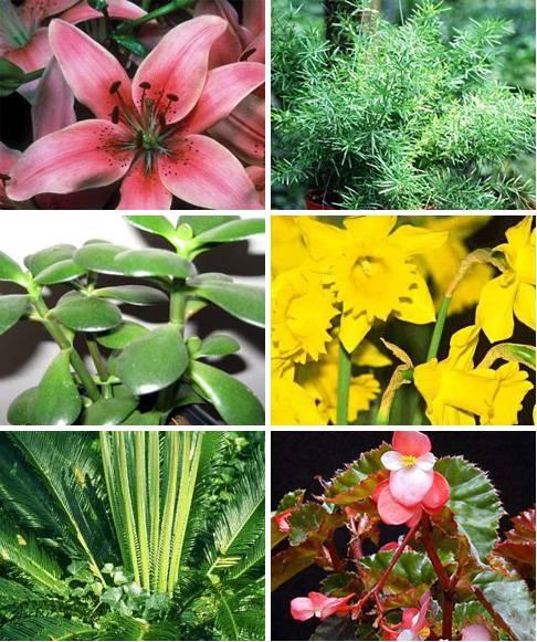 Комнатные растения, ядовитые для кошек