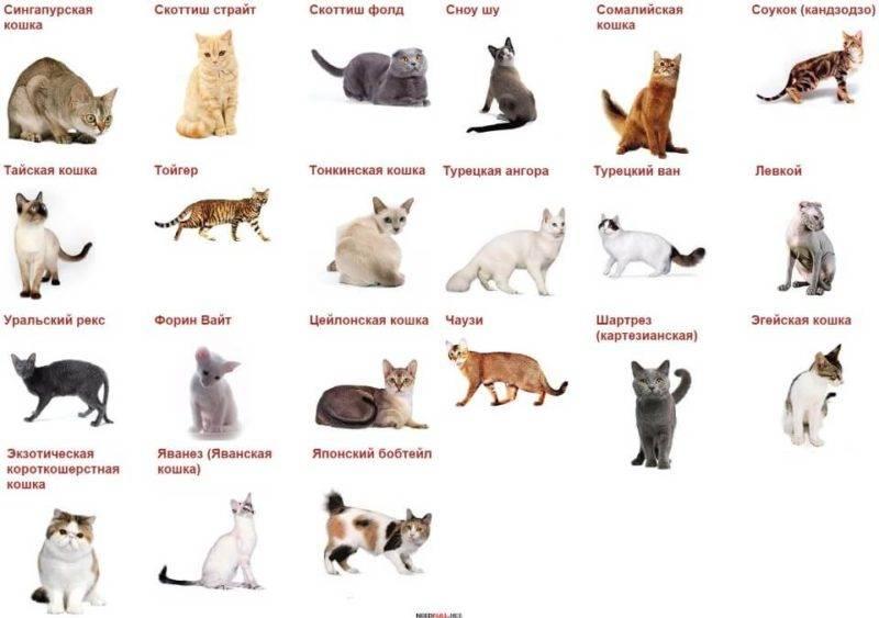 18 лучших пород кошек - рейтинг 2020