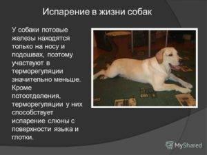 Потеют ли собаки: есть ли у них потовые железы