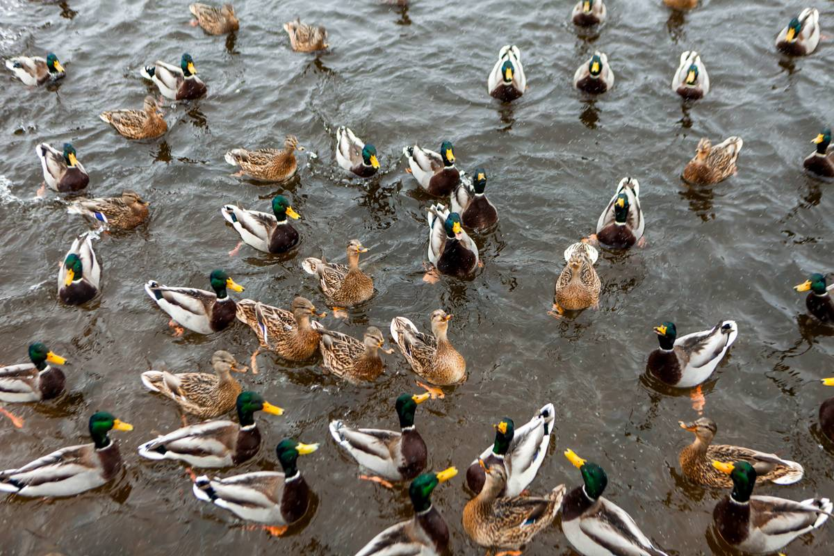 Что едят утки, какие корма им можно давать: можно ли давать уткам в пруду хлеб и чем их кормить дома