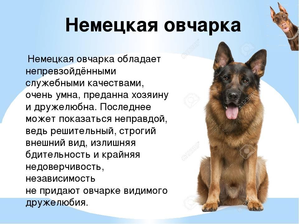 Немецкая овчарка: характеристика породы, стандарты размеров и как выглядит чистокровный пес, каков вес взрослого, бывает ли белого окраса, черного, зонарного?