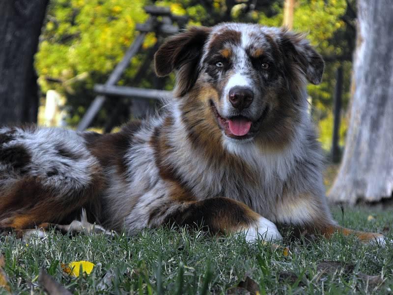 Собака австралийская овчарка аусси: описание породы, все о характере