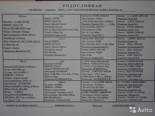 Русско-европейская лайка: описание, характеристика, щенки, охота с данной породой