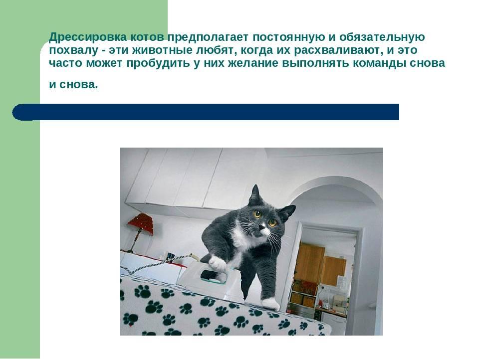 Как можно дрессировать кошек в домашних условиях