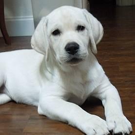 Порода собак похожая на лабрадора но меньше - наши домашние друзья