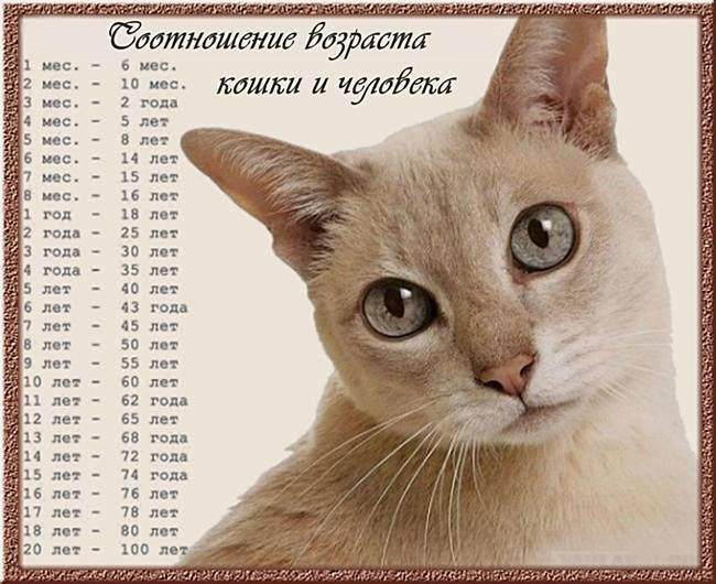 """Таблица """"возраст кошки по человеческим меркам"""". как определить возраст кошки?"""