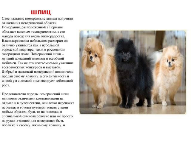 Разновидности и характеристика породы немецкого шпица: какой бывает собака и сколько лет сможет прожить