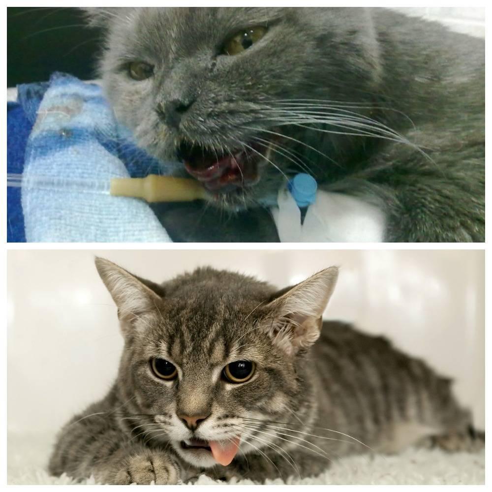 Гастрит у кошек симптомы и лечение