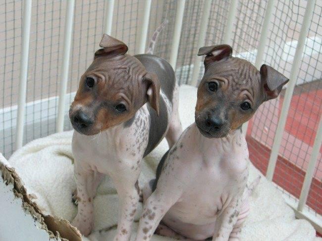 Гипоаллергенные породы собак, не вызывающие аллергию
