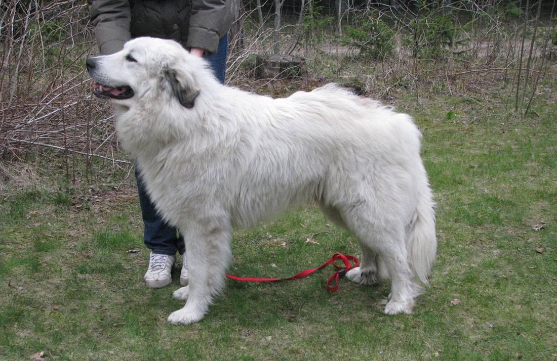Горная пиренейская собака – описание, характер, уход и содержание