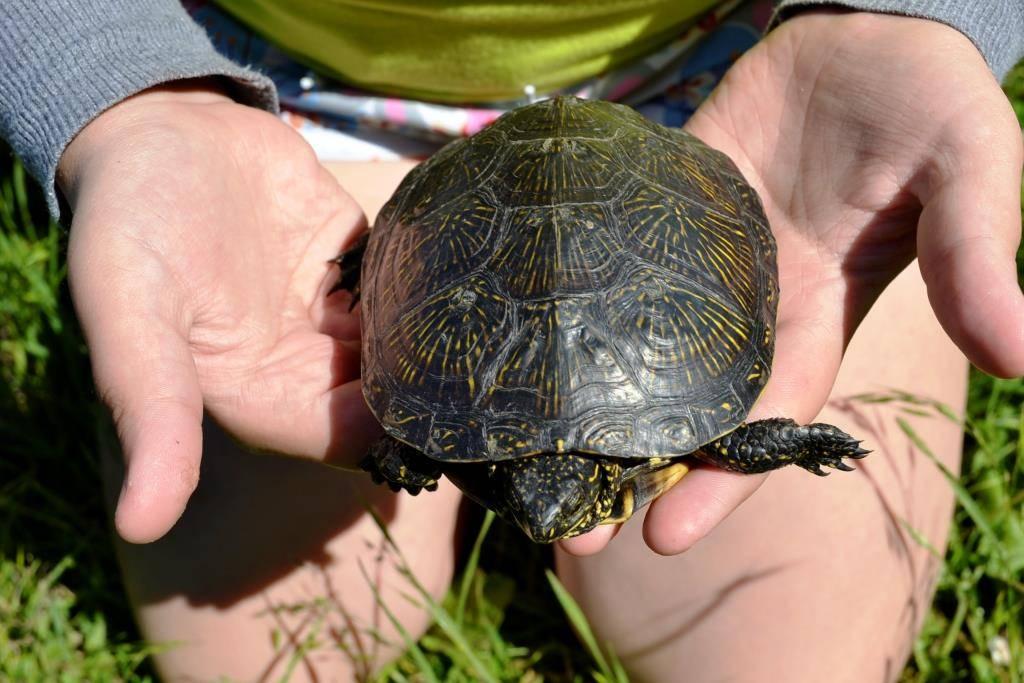 До скольких лет живут черепахи: максимальный возраст в природе, домашних условиях