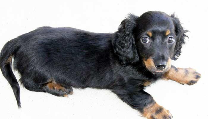 Как назвать таксу девочку: красивые имена для щенка, черный, рыжий и др. окрасы