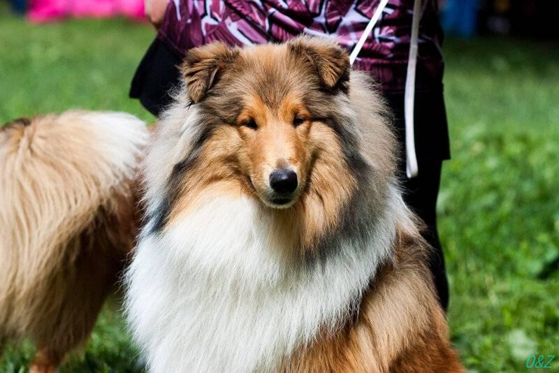 Обзор и описание внешности самых маленьких в мире пород собак овчарок