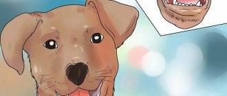 Собака чихает и фыркает, чем лечить: сопли, насморк и кашель