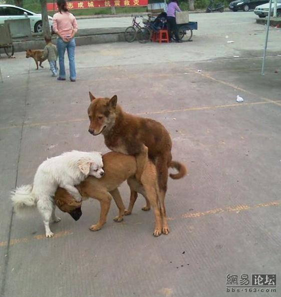 Почему при вязке собак не получается замок. почему собаки слипаются во время спаривания