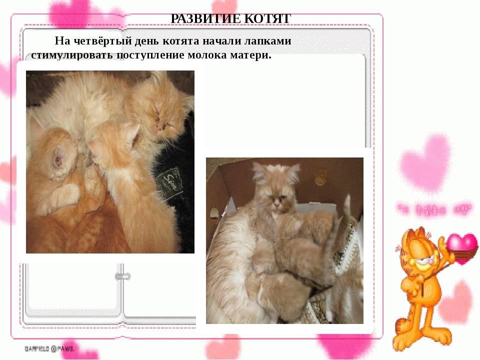 Описание понедельного календаря беременности для кошек: развитие плода