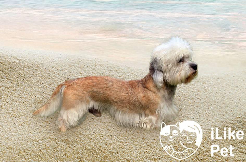 Денди динмонт терьер — описание породы, правила содержания и рекомендации как купить щенка (90 фото)
