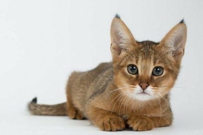 9 пород кошек, выведенных в россии