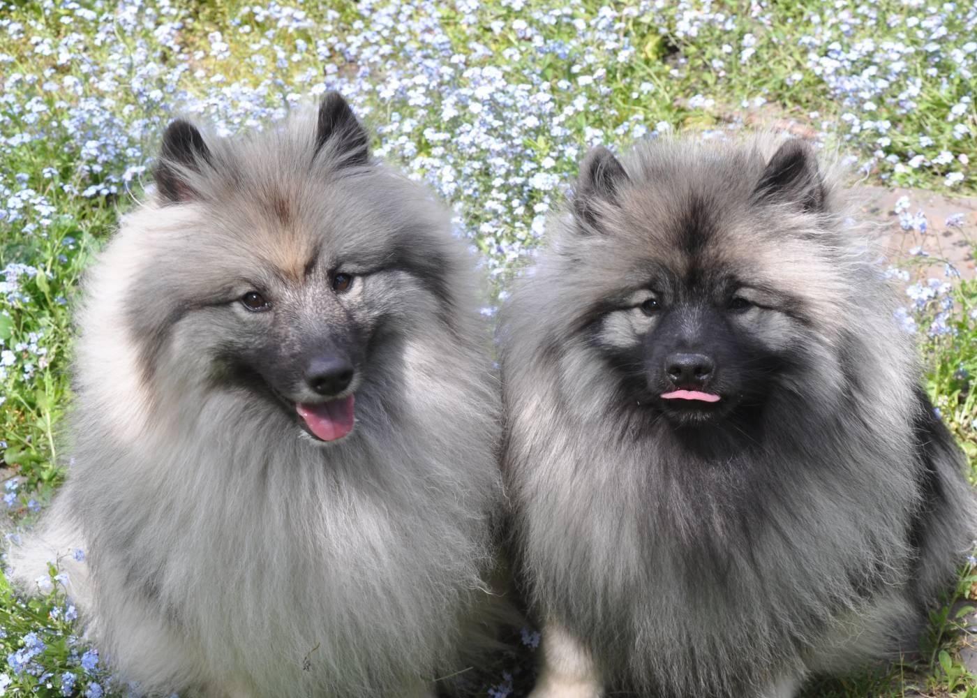 Кеесхонд (64 фото): описание породы собак немецкий вольфшпиц, характер щенков, содержание в квартире и уход, характеристика волчьего окраса