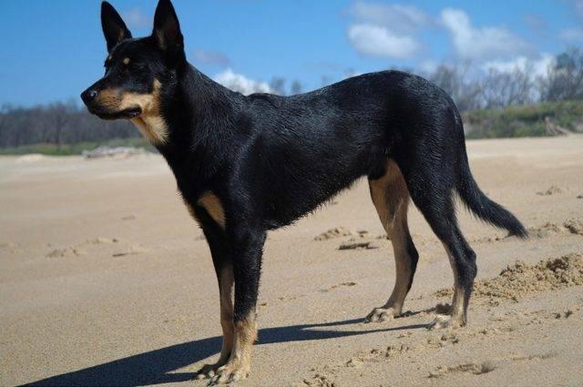 Австралийский келпи - описание породы и характер собаки