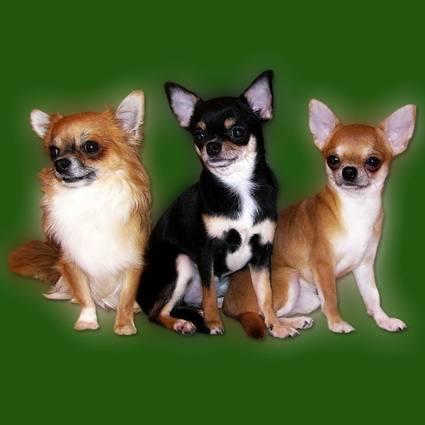 Длинношерстные чихуахуа: описание породы, особенности содержания щенков и взрослой собаки