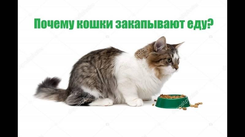 Почему кошка закапывает еду: выявляем главные причины