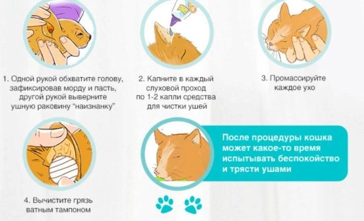 Болезни ушей у кошек - виды заболеваний, их признаки, лечение
