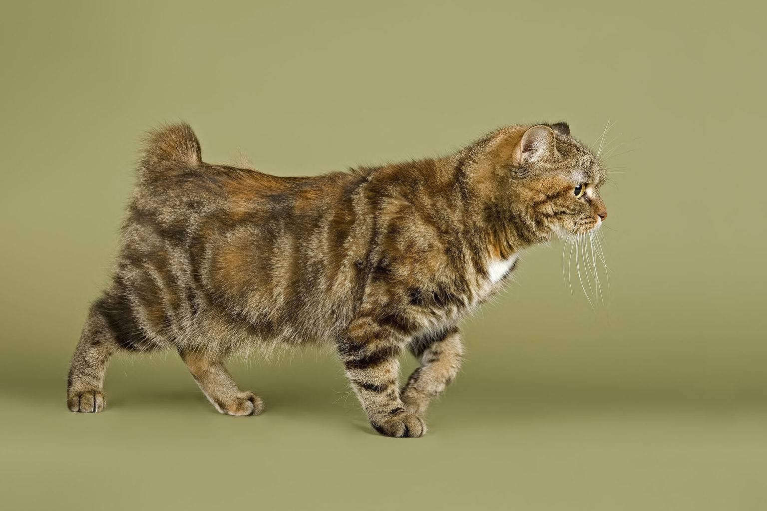 Американский бобтейл: описание короткошерстной породы кошек сша