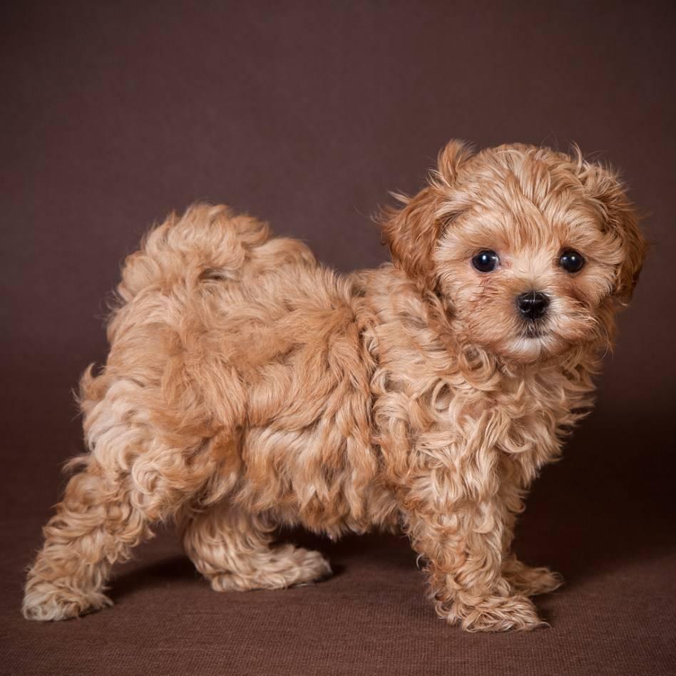 Порода собак мальтипу - описание и характер ✿ карликовые мальтипу