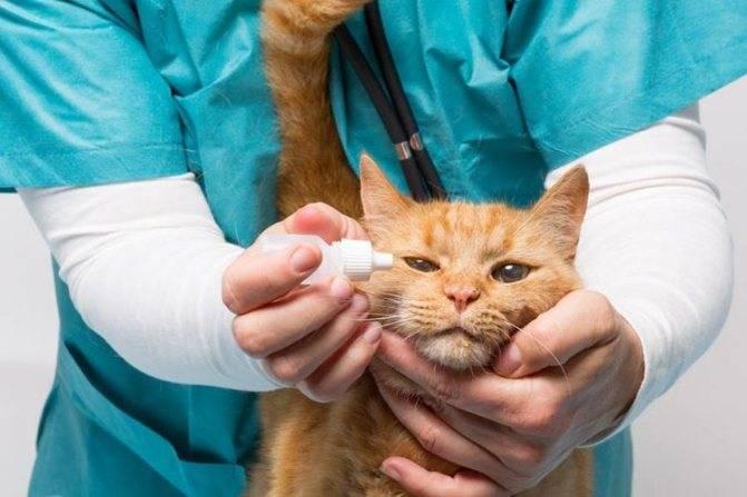 Можно ли вылечить гепатит у кошек - печень и здоровье