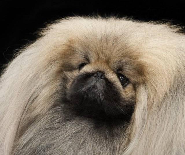 Карликовые собаки. особенности, описание, уход и породы карликовых собак | животный мир