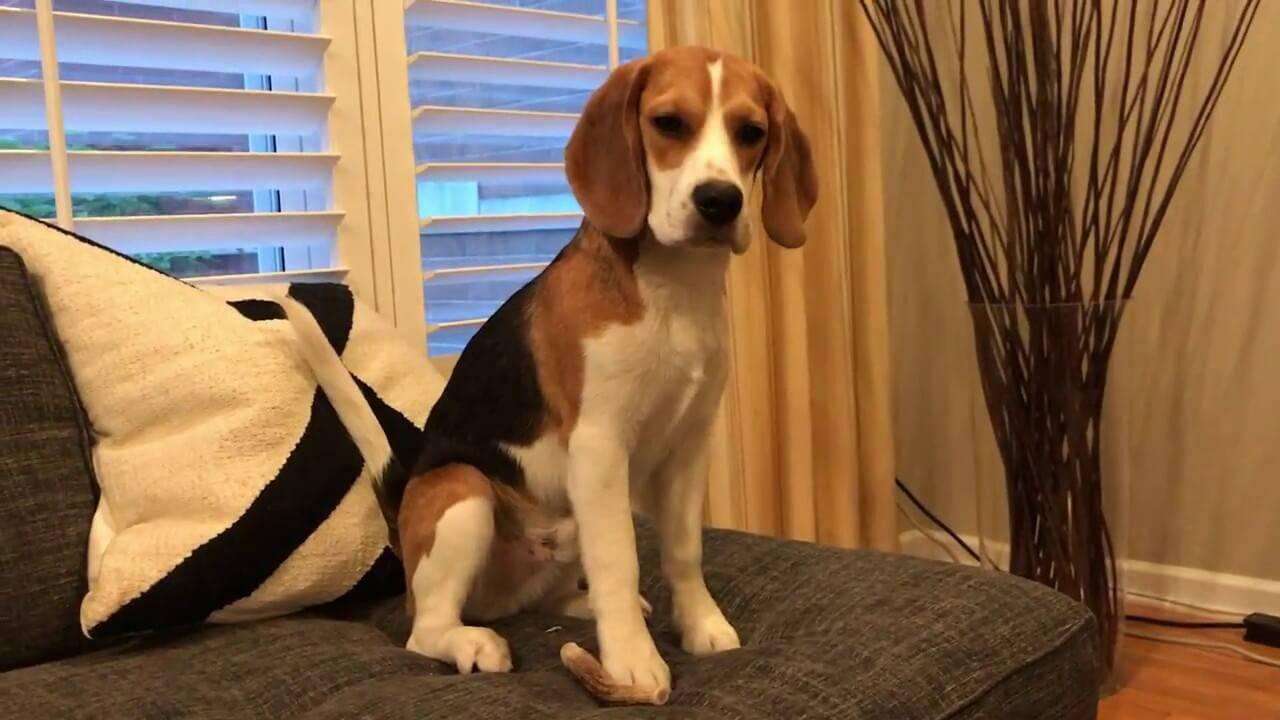 Бигль: все о собаке, фото, описание породы, характер, цена