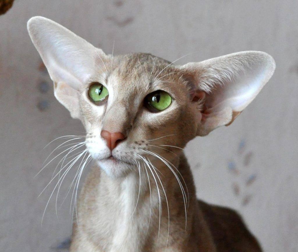 Породы вислоухих кошек. ? особенности видов, окраса. отличия по шерсти, ушам. внешность, характер, заболевания. стоимость котенка.