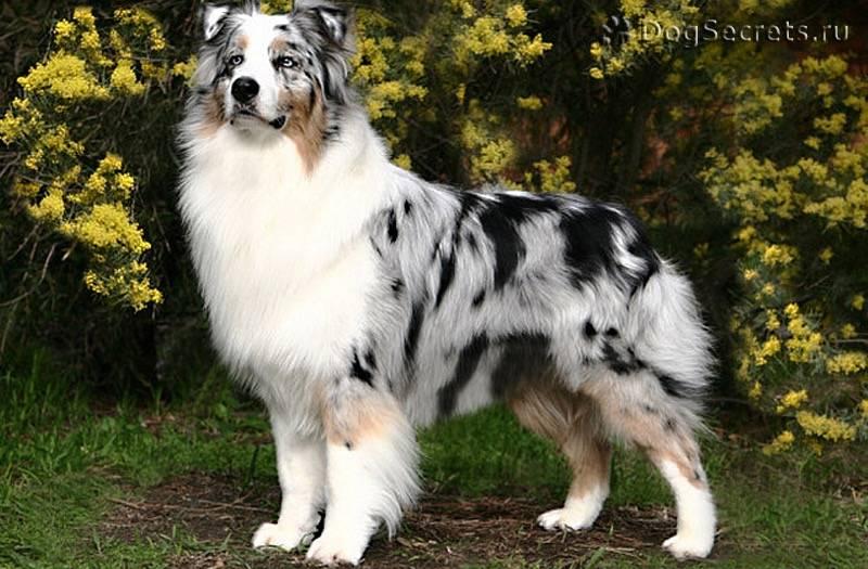 Австралийская овчарка, аусси: описание породы, характер собаки и щенка, фото, цена