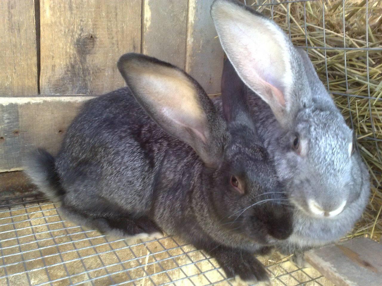 Породы кроликов - основные отличия, рекомендуемые для содержания в домашних условиях и на ферме