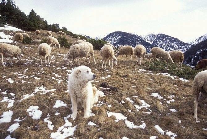 Характеристика больших пиренейских горных собак: внешность и поведение
