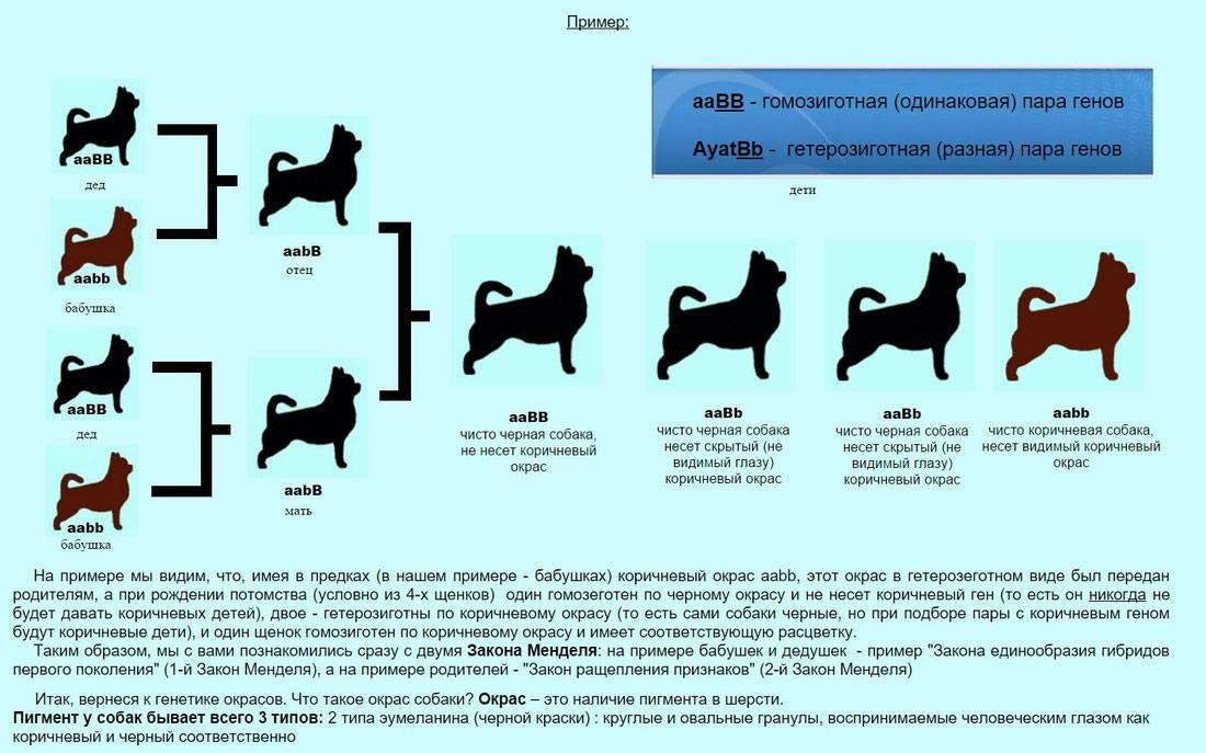 Виды мопсов: какие бывают разновидности породы? фото представителей с разными ушками и голубыми глазами